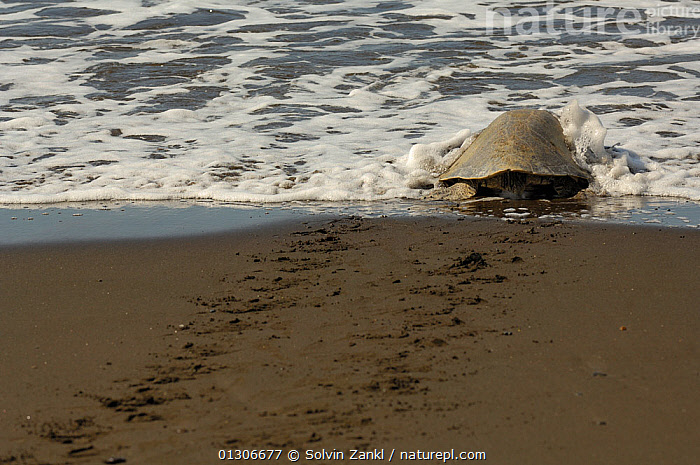 After successfully nesting on the beach an adult female Olive ridley sea turtle (Lepidochelys olivacea) returns to the sea, leaving tracks in the sand, Ostional beach, Costa Rica, November  ,  BEACHES,CENTRAL AMERICA,CHELONIA,COASTS,COSTA RICA,ENDANGERED,FEMALES,MARINE,NESTING BEHAVIOUR,REPTILES,SEA TURTLES,TRACKS,TURTLES,VERTEBRATES,CENTRAL-AMERICA  ,  Solvin Zankl
