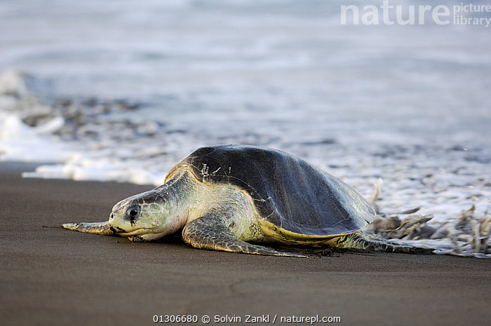 Mature female Olive ridley sea turtle (Lepidochelys olivacea) arrives at the beach of Ostional, Costa Rica, Pacific coast,  November, at the beginning of the arribada (mass nesting event) of the sea turtles. ^^^ Thousands and thousands of the 50 kilogram reptiles come ashore over a period of up to a week, only interrupted by the hottest midday sun, to bury their eggs in the warm sand.  ,  BEACHES,CENTRAL AMERICA,CHELONIA,COASTS,COSTA RICA,ENDANGERED,FEMALES,MARINE,NESTING BEHAVIOUR,REPTILES,SEA TURTLES,TURTLES,VERTEBRATES  ,  Solvin Zankl