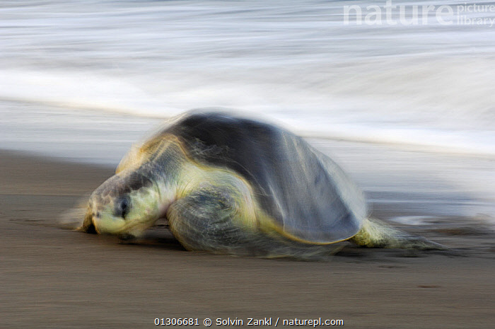 Mature female Olive ridley sea turtle (Lepidochelys olivacea) arrives at the beach of Ostional, Costa Rica, Pacific coast,  November, at the beginning of the arribada (mass nesting event) of the sea turtles. ^^^ Thousands and thousands of the 50 kilogram reptiles come ashore over a period of up to a week, only interrupted by the hottest midday sun, to bury their eggs in the warm sand.  ,  BEACHES,BLURRED,CENTRAL AMERICA,CHELONIA,COASTS,COSTA RICA,ENDANGERED,FEMALES,MARINE,MOVEMENT,NESTING BEHAVIOUR,REPTILES,SEA TURTLES,TURTLES,VERTEBRATES  ,  Solvin Zankl