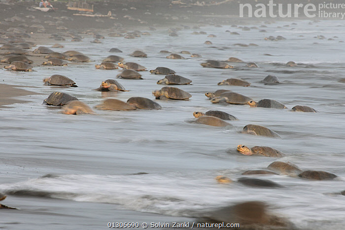 The arrival of many Olive ridley sea turtles (Lepidochelys olivacea) at the beach of Ostional, Costa Rica, Pacific coast, at the beginning of an arribada (mass nesting event) November ^^^ Thousands and thousands of the 50 kilogram reptiles come ashore over a period of up to a week, only interrupted by the hottest midday sun, to bury their eggs in the warm sand.  ,  BEACHES,CENTRAL AMERICA,CHELONIA,COASTS,COSTA RICA,ENDANGERED,FEMALES,GROUPS,MARINE,NESTING BEHAVIOUR,REPTILES,SEA TURTLES,TURTLES,VERTEBRATES,CENTRAL-AMERICA  ,  Solvin Zankl