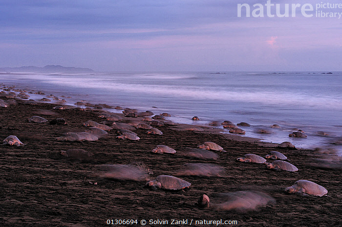 Mature female Olive ridley sea turtles (Lepidochelys olivacea) arriving on the beach of Ostional, Costa Rica, Pacific coast, during an arribada (mass nesting event) November.  ,  BEACHES,CENTRAL AMERICA,CHELONIA,COASTS,COSTA RICA,ENDANGERED,MARINE,REPTILES,SEA TURTLES,TURTLES,VERTEBRATES  ,  Solvin Zankl