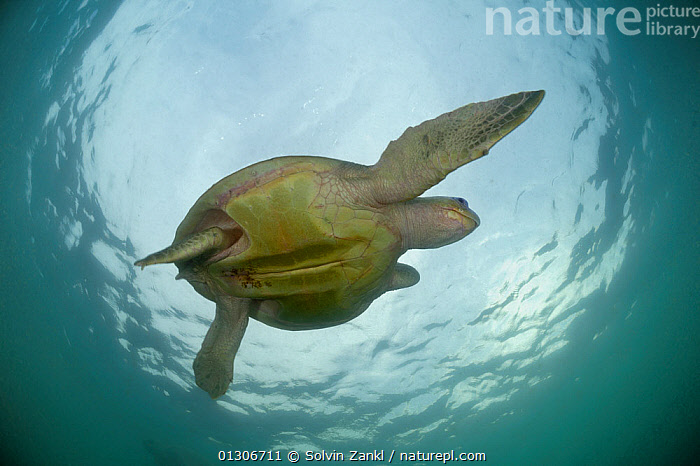 Female Olive ridley sea turtle (Lepidochelys olivacea) swimming from the open ocean towards the beach of Ostional, Costa Rica, Pacific Ocean to gather for an arribada (mass nesting event). Note the pale underside of the body which provides some camouflage against the bright surface, November  ,  CAMOUFLAGE,CENTRAL AMERICA,CHELONIA,COASTS,COSTA RICA,ENDANGERED,FEMALES,MARINE,PACIFIC,REPTILES,SEA TURTLES,SWIMMING,TROPICAL,TURTLES,UNDERWATER,VERTEBRATES  ,  Solvin Zankl