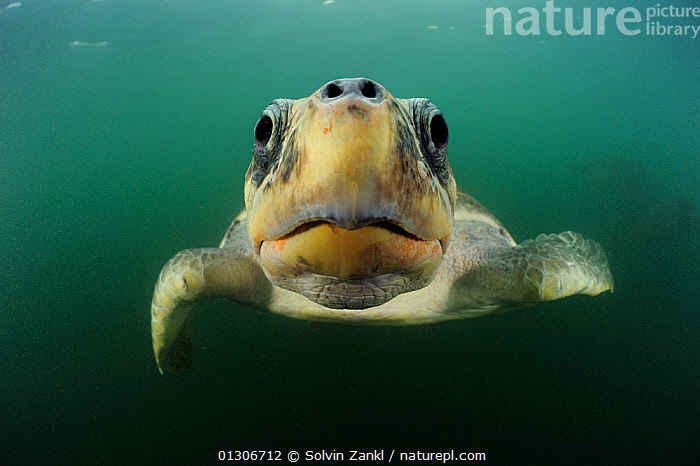 Female Olive ridley sea turtle (Lepidochelys olivacea) swimming from the open ocean towards the beach of Ostional, Costa Rica, Pacific Ocean to gather for an arribada (mass nesting event). November  ,  animal eyes,animal mouth,BEACHES,CATALOGUE2,CENTRAL AMERICA,CHELONIA,CLOSE UPS,COASTS,costa rica,costa rica,curiosity,ENDANGERED,EXPRESSIONS,EYES,FACES,facial expression,female animal,front view,HUMOROUS,humour,innocence,MARINE,MOUTHS,nature,Nobody,nostrils,on the move,one animal,Ostional,PACIFIC,pacific ocean,PORTRAITS,REPTILES,SEALIFE,seas,SEA TURTLES,SWIMMING,TROPICAL,TURTLES,UNDERWATER,VERTEBRATES,WATER,WILDLIFE,CENTRAL-AMERICA,Concepts,core collection xtwox  ,  Solvin Zankl