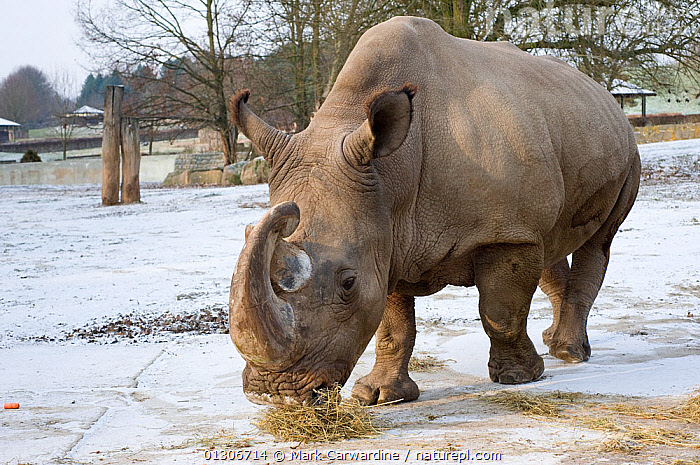 Northern white rhinoceros (Ceratotherium simum cottoni) feeding in enclosure at Dvur Kralove Zoo, Czech Republic, the day before departure - Dec 2009. Extinct in the wild and only eight left in captivity,  critically endangered. Part of a rescue operation to move four northern white rhinos from Dvur Kralove Zoo, Czech Republic, to Ol Pejeta Conservancy, Kenya, in order to save the rarest animal in the world from extinction.  ,  CONSERVATION,ENDANGERED,EUROPE,FEEDING,MAMMALS,PERISSODACTYLA,RHINO,RHINOCEROSES,SNOW,VERTEBRATES,ZOOS , rhino, rhinos, rhinoceros, , rhino, Rhinoceros, Rhinos,  ,  Mark Carwardine