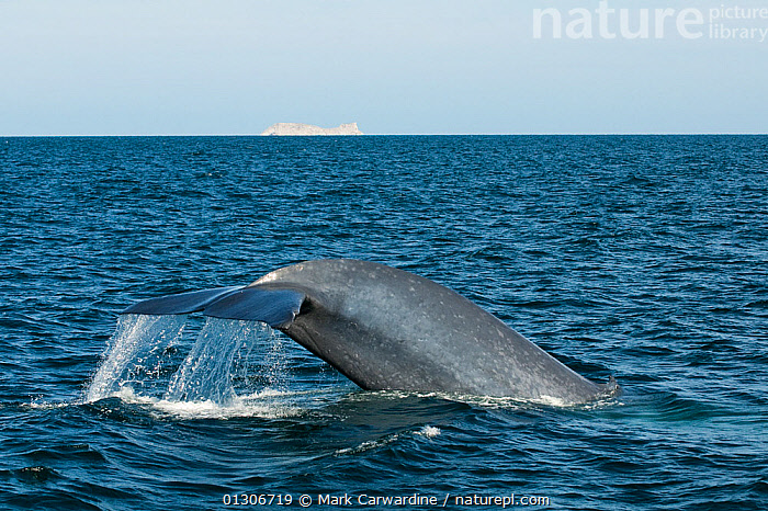 Blue whale (Balaenoptera musculus) fluking / diving, Endangered species, Sea of Cortez, Baja California, Mexico  ,  CENTRAL AMERICA,CETACEANS,ENDANGERED,FLUKE,MAMMALS,MARINE,MEXICO,SURFACE,TAILS,TROPICAL,VERTEBRATES,WHALES,CENTRAL-AMERICA,,Baleen whale,  ,  Mark Carwardine
