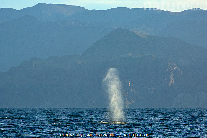 Blue whale (Balaenoptera musculus) blowing / spouting, Endangered species, Sea of Cortez, Baja California, Mexico  ,  CENTRAL AMERICA,CETACEANS,COASTAL WATERS,COASTS,ENDANGERED,MAMMALS,MARINE,MEXICO,SPRAY,SURFACE,TROPICAL,VERTEBRATES,WHALES,CENTRAL-AMERICA,,Baleen whale,  ,  Mark Carwardine
