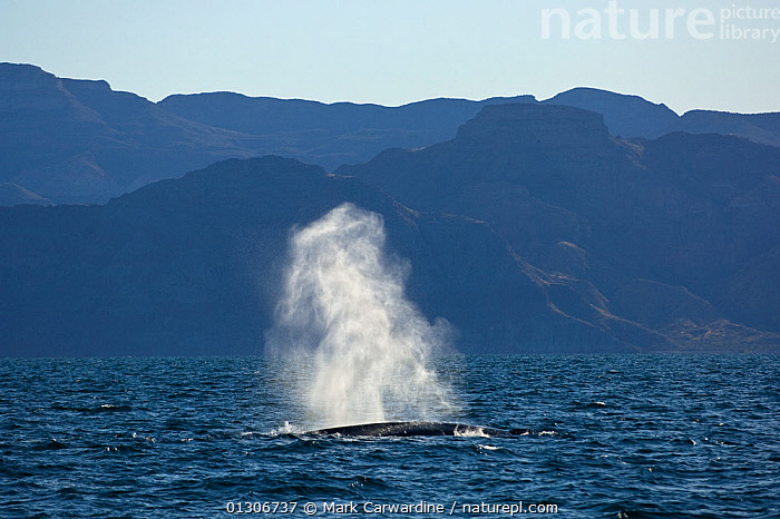 Blue whale (Balaenoptera musculus) blowing / spouting, Endangered species, Sea of Cortez, Baja California, Mexico  ,  BREATHING,CENTRAL AMERICA,CETACEANS,COASTAL WATERS,COASTS,ENDANGERED,MAMMALS,MARINE,SPRAY,SURFACE,VERTEBRATES,WHALES,,Baleen whale,  ,  Mark Carwardine