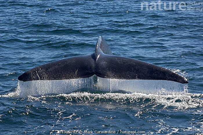 Blue whale (Balaenoptera musculus) fluking / diving, Endangered species, Sea of Cortez, Baja California, Mexico  ,  CENTRAL AMERICA,CETACEANS,ENDANGERED,FLUKE,MAMMALS,MARINE,SURFACE,TAILS,VERTEBRATES,WHALES,MEXICO,CENTRAL-AMERICA,,Baleen whale,  ,  Mark Carwardine