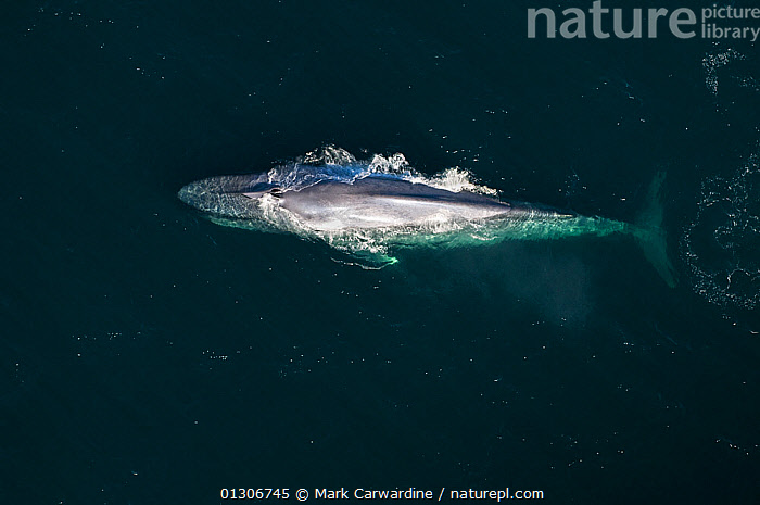 Aerial view of Blue whale (Balaenoptera musculus) at surface, Endangered species, Sea of Cortez, Baja California, Mexico  ,  AERIALS,CENTRAL AMERICA,CETACEANS,ENDANGERED,MAMMALS,MARINE,SURFACE,VERTEBRATES,WHALES,MEXICO,CENTRAL-AMERICA,,Baleen whale,  ,  Mark Carwardine