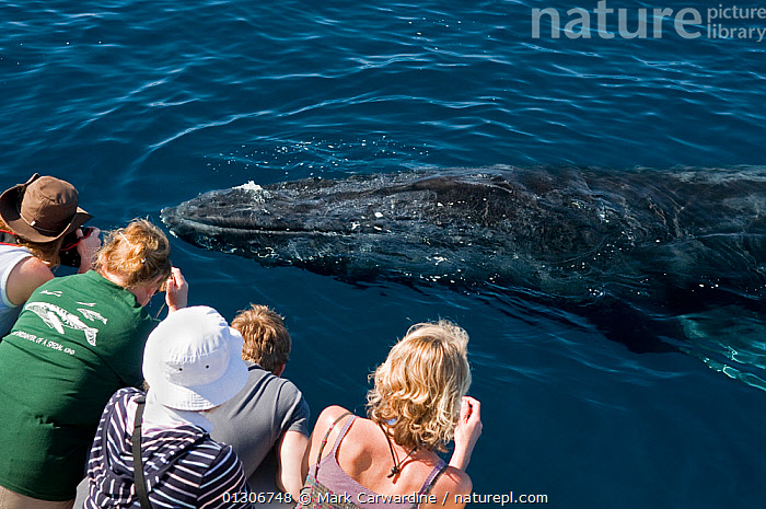 Humpback whale (Megaptera novaeangliae) close to boat, watched by whale watchers, Sea of Cortez, Baja California, Mexico  ,  BOATS,CENTRAL AMERICA,CETACEANS,ECOTOURISM,MAMMALS,MARINE,PEOPLE,SURFACE,TROPICAL,VERTEBRATES,WHALES,WHALE WATCHING  ,  Mark Carwardine
