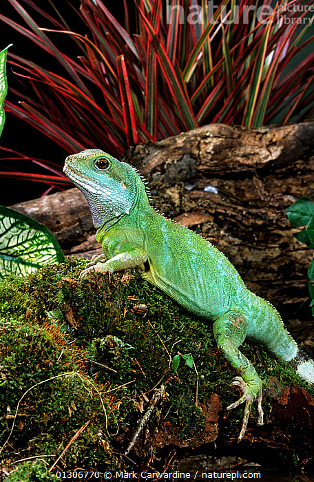 Chinese / Thailand water dragon (Physignathus cocincinus) captive, from SE Asia  ,  AGAMAS,AGAMIIDAE,ASIA,LIZARDS,PORTRAITS,REPTILES,VERTEBRATES,VERTICAL  ,  Mark Carwardine