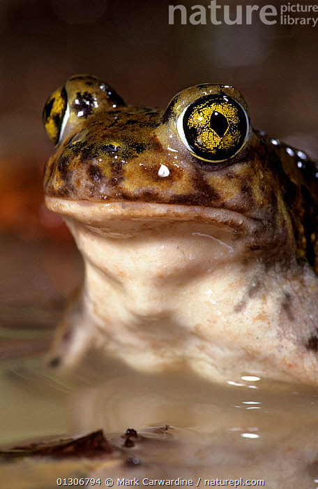 Couch's spadefoot toad (Scaphiopus couchii) captive, from North America  ,  AMPHIBIANS,ANURA,PORTRAITS,SPADEFOOT TOADS,TOADS,USA,VERTEBRATES,VERTICAL,WATER,North America  ,  Mark Carwardine