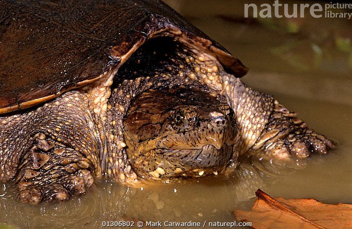 Common snapping turtle (Chelydra serpentina) in water, Captive, from North and Central America  ,  CENTRAL AMERICA,CHELONIA,NORTH AMERICA,REPTILES,SNAPPING TURTLES,VERTEBRATES,Turtles  ,  Mark Carwardine