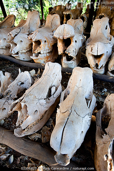 Southern white rhinoceros (Ceratotherium simum simum) skulls retrieved from animals killed by poachers, Endangered species, Mkhaya Game Reserve, Swaziland  ,  BONES,DEATH,MAMMALS,PERISSODACTYLA,POACHING,RESERVE,RHINO,RHINOCEROSES,SOUTHERN AFRICA,VERTEBRATES,VERTICAL , rhino, Rhinoceros, Rhinos,  ,  Mark Carwardine
