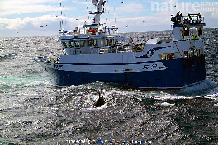 "Killer whale (orcinus orca) surfacing alongside fishing vessel ""Harvester"". North Sea, August 2010.