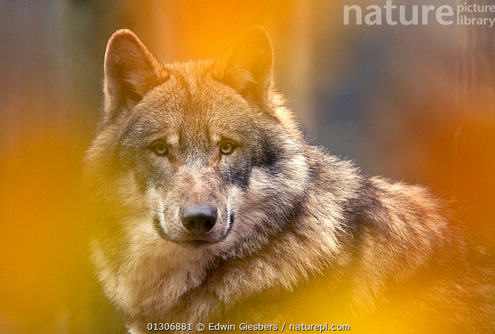 Grey wolf (Canis lupus) head portrait, viewed through autumn colours, captive.  ,  CANIDS,CARNIVORES,EUROPE,MAMMALS,PORTRAITS,VERTEBRATES,WOLVES,Dogs  ,  Edwin Giesbers