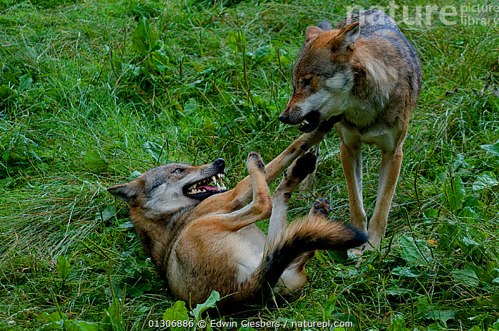 Pack of Grey wolves (Canis lupus) greeting one another and expressing submissive behaviour.  ,  BEHAVIOUR,CANIDS,CARNIVORES,EUROPE,FIGHTING,HIERARCHY,MAMMALS,SOCIAL BEHAVIOUR,TWO,VERTEBRATES,WOLVES,Aggression,Dogs  ,  Edwin Giesbers