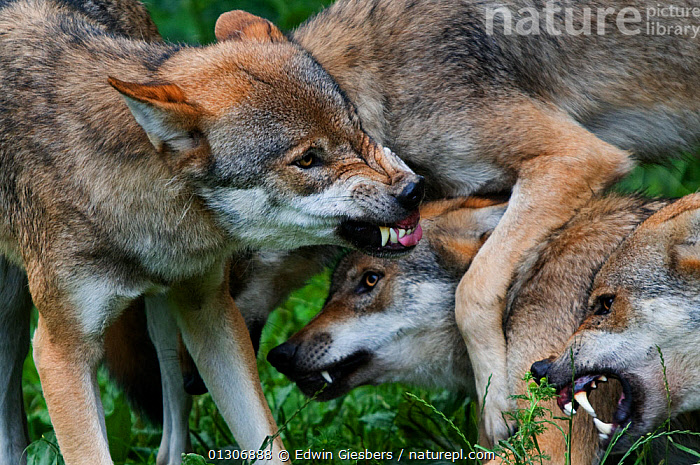 Pack of Grey wolves (Canis lupus) expressing submissive / agressive behaviour, snarling with teeth bared, captive.  ,  AGGRESSION,BEHAVIOUR,CANIDS,CARNIVORES,CLOSE UPS,EUROPE,FIGHTING,GROUPS,MAMMALS,MANY,SOCIAL BEHAVIOUR,TEETH,VERTEBRATES,WOLVES,Concepts,Dogs  ,  Edwin Giesbers