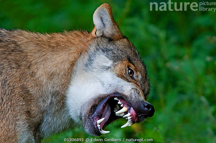 RF- Grey wolf (Canis lupus) snarling with teeth bared, captive. (This image may be licensed either as rights managed or royalty free.)  ,  AGGRESSION,CANIDS,CARNIVORES,CLOSE-UPS,EUROPE,MAMMALS,PORTRAITS,TEETH,VERTEBRATES,WOLVES RF16Q4,CANIS LUPUS,Animal,Vertebrate,Mammal,Carnivore,Canid,Grey Wolf,Vicious,Animalia,Animal,Wildlife,Vertebrate,Mammalia,Mammal,Carnivora,Carnivore,Canidae,Canid,Canis,Canis lupus,Grey Wolf,Common Wolf,Gray Wolf,Wolf,Vocalisation,Growling,Danger,Threatening,Meaness,Meanness,Nobody,Close Up,Mouth,Nature,Ferocious,Animal Behaviour,Behaviour,Negative space,Open Mouth,Vicious,Nasty,RF,Royalty free,RFCAT1,RF16Q4  ,  Edwin  Giesbers