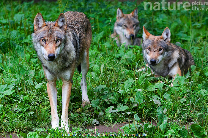 Pack of Grey wolves (Canis lupus) standing / walking in vegetation, captive.  ,  CANIDS,CARNIVORES,EUROPE,GROUPS,MAMMALS,STANDING,VERTEBRATES,WOLVES,Dogs  ,  Edwin Giesbers