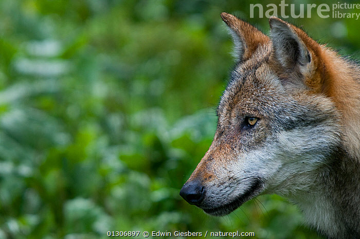 Grey wolf (Canis lupus) head portrait in profile, captive.  ,  CANIDS,CAPTIVE,CARNIVORES,CLOSE UPS,EUROPE,MAMMALS,PORTRAITS,VERTEBRATES,WOLVES,Dogs  ,  Edwin Giesbers