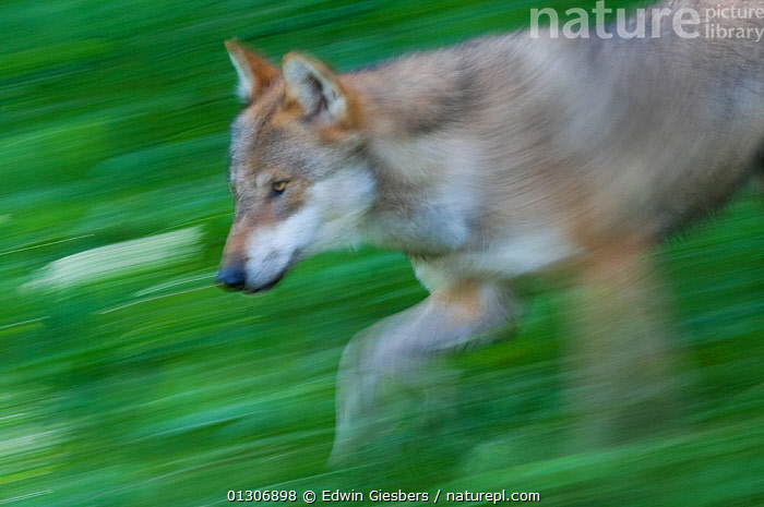 Grey wolf (Canis lupus) running through green vegetation, captive.  ,  ACTION,BLURRED,CANIDS,CARNIVORES,EUROPE,MAMMALS,MOTION,MOVEMENT,RUNNING,TIME EXPOSURE,VERTEBRATES,WOLVES,Dogs  ,  Edwin Giesbers