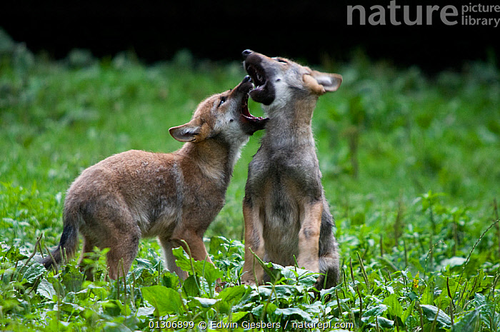RF- Two Grey wolf (Canis lupus) cubs play-fighting, captive. (This image may be licensed either as rights managed or royalty free.)  ,  BABIES,BEHAVIOUR,CANIDS,CARNIVORES,EUROPE,FIGHTING,JUVENILE,MAMMALS,play,VERTEBRATES,WOLVES RF16Q4,CANIS LUPUS,Animal,Vertebrate,Mammal,Carnivore,Canid,Grey Wolf,Animalia,Animal,Wildlife,Vertebrate,Mammalia,Mammal,Carnivora,Carnivore,Canidae,Canid,Canis,Canis lupus,Grey Wolf,Common Wolf,Gray Wolf,Wolf,Play Fight,Play Fights,Sibling,Siblings,Annoying,Rivalry,Rival,Rivals,Two,Nobody,Young Animal,Juvenile,Babies,Baby Mammal,Cub,Nature,Animal Behaviour,Playing,Family,Behaviour,Two animals,Aggravating,RF,Royalty free,RFCAT1,RF16Q4  ,  Edwin  Giesbers