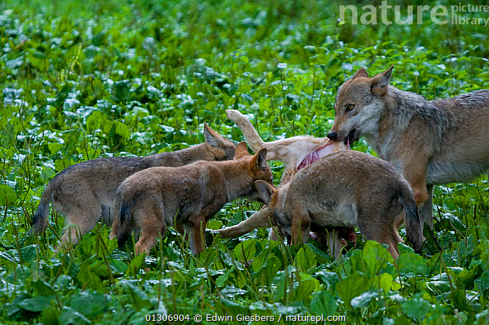 Grey wolf (Canis lupus) female and three cubs feeding on sheep caracass, captive.  ,  CANIDS,CARNIVORES,EUROPE,FAMILIES,FEEDING,FEMALES,JUVENILES,MAMMALS,VERTEBRATES,WOLVES,Dogs  ,  Edwin Giesbers