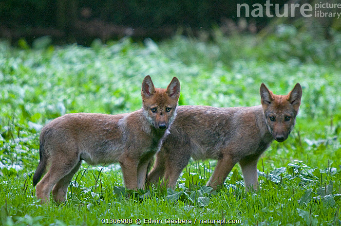 Two Grey wolf (Canis lupus) cubs standing together in green vegetation, captive.  ,  BABIES,CANIDS,CARNIVORES,EUROPE,JUVENILE,MAMMALS,STANDING,VERTEBRATES,WOLVES,Dogs  ,  Edwin Giesbers