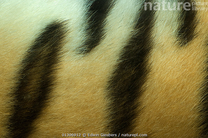 Siberian tiger ( Panthera tigris altaica) detail of patterns on flank, captive.  ,  BIG CATS,CARNIVORES,CLOSE UPS,CRYPTIC,DETAILS,ENDANGERED,FUR,MAMMALS,PATTERNS,STRIPES,TIGERS  ,  Edwin Giesbers
