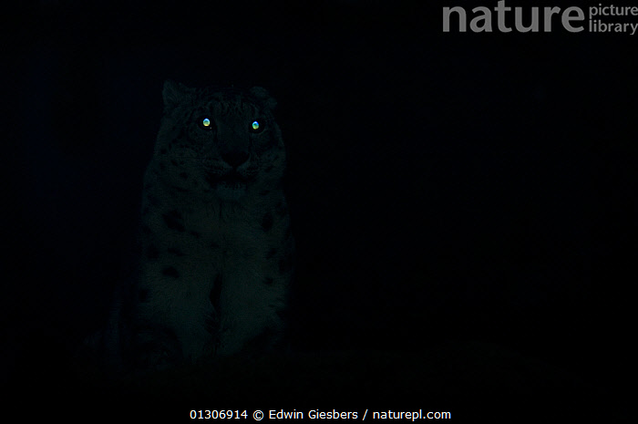 Snow Leopard (Panthera uncia) sitting in darkness, with eyes glowing as they reflect available light,  captive  ,  ABSTRACT,adaptations,animal eyes,BIG CATS,black background,captive,CARNIVORES,CATALOGUE2,copyspace,dark,ENDANGERED,EYES,glowing,haunting,LEOPARDS,LIGHTS,MAMMALS,nature,NIGHT,Nobody,one animal,outdoors,shining,spooky,WILDLIFE  ,  Edwin Giesbers