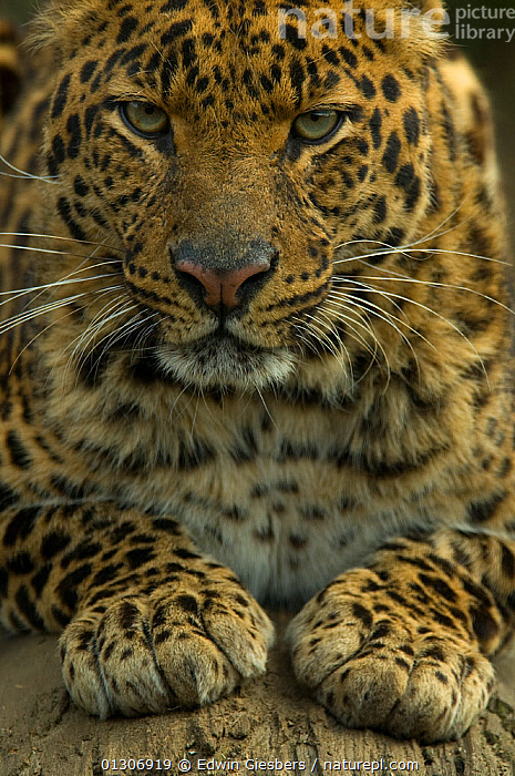 Sri Lankan Leopard (Panthera pardus kotiya) head portrait, with paws out in front, captive.  ,  BIG CATS,CARNIVORES,CLOSE UPS,ENDANGERED,MAMMALS,PAWS,PORTRAITS,VERTEBRATES,VERTICAL,Leopards  ,  Edwin Giesbers