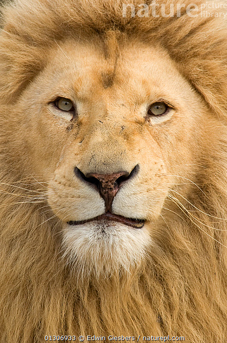 African Lion (Panthera leo) head portrait of male, captive.  ,  BIG CATS,CARNIVORES,CLOSE UPS,LIONS,MALES,MAMMALS,PORTRAITS,VERTEBRATES,VERTICAL  ,  Edwin Giesbers