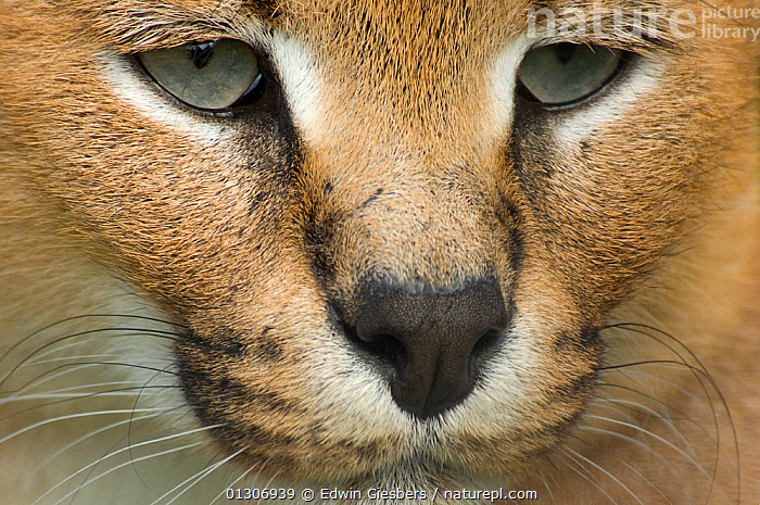 Caracal (Felis caracal) close-up head portrait,  captive; native to Africa.  ,  CARNIVORES,CATS,CLOSE UPS,EYES,FACES,MAMMALS,NOSE,PORTRAITS,VERTEBRATES  ,  Edwin Giesbers