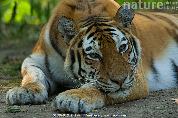 Siberian tiger (Panthera tigris altaica) head portrait, lying down with head resting on paws, captive.  ,  BIG CATS,CARNIVORES,CLOSE UPS,ENDANGERED,MAMMALS,PAWS,PORTRAITS,RELAXING,RESTING,TIGERS  ,  Edwin Giesbers