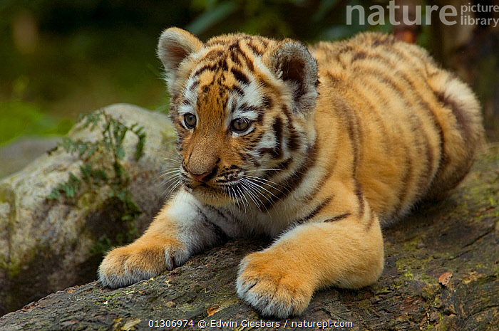 Siberian tiger (Panthera tigris altaica) young cub, lying down, looking intently beyond the camera, captive.  ,  BABIES,BIG CATS,CARNIVORES,ENDANGERED,JUVENILE,MAMMALS,PORTRAITS,TIGERS  ,  Edwin Giesbers