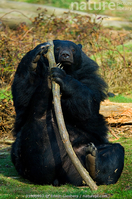 Asiatic black / Moon bear (Ursus thibetanus) sitting on grass, and holding large tree branch, with hind foot raised against it, captive; Isselburg zoo; Germany.  ,  BEARS,CARNIVORES,HUMOROUS,MAMMALS,PLAYING,SITTING,VERTEBRATES,VERTICAL,Concepts  ,  Edwin Giesbers