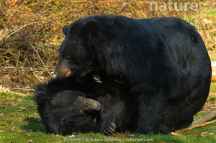 Two Asiatic black / Moon bears (Ursus thibetanus) rolling on the ground playing fighting together, captive; Isselburg zoo; Germany.  ,  BEARS,CARNIVORES,FIGHTING,MAMMALS,PLAY,VERTEBRATES,Aggression,Communication  ,  Edwin Giesbers