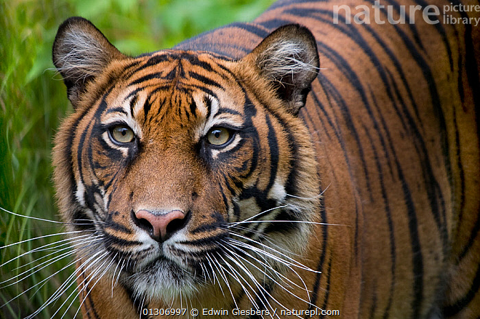 Sumatran tiger (Panthera tigris sumatrae) head portrait, with head lowered and looking intently past the camera, captive.  ,  BIG CATS,CARNIVORES,CLOSE UPS,ENDANGERED,MAMMALS,PORTRAITS,TIGERS,WHISKERS  ,  Edwin Giesbers