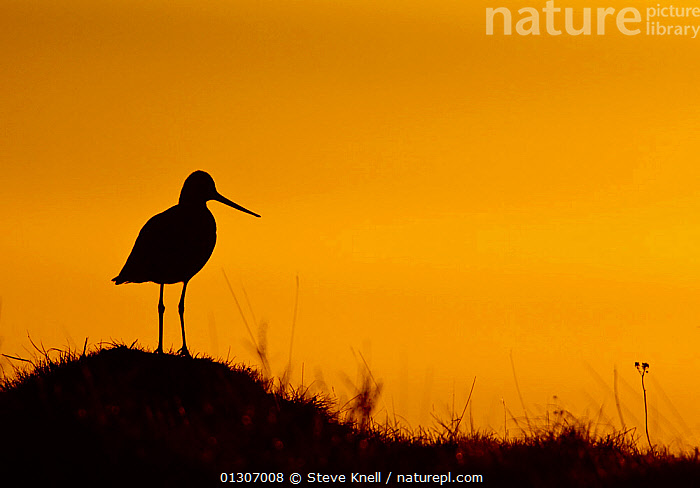 Black-tailed godwit (Limosa limosa) silhouetted at sunset. Iceland, May  ,  BIRDS,GODWITS,ICELAND,SILHOUETTES,SUNSET,VERTEBRATES,WADERS,Europe  ,  Steve Knell