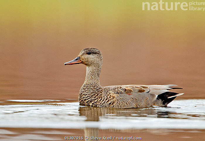 Gadwall (Anas strepera) portrait of drake on water. Iceland, May  ,  BIRDS,DUCKS,ICELAND,MALES,PORTRAITS,VERTEBRATES,WATER,WATERFOWL,Europe  ,  Steve Knell