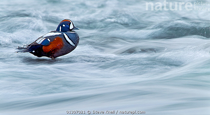 Harlequin duck (Histrionicus histrionicus) male standing in rapids, Iceland, May  ,  animal marking,BIRDS,catalogue3,close up,CLOSE UPS,complacent,DUCKS,full length,human attribute,ICELAND,male animal,MALES,may,negative space,Nobody,one animal,outdoors,patience,plumage,rapids,resilient,river,side view,STANDING,stoic,unmoving,VERTEBRATES,WATER,WATERFOWL,WILDLIFE,Europe  ,  Steve Knell