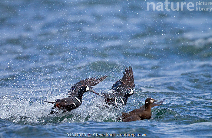 Two male Harlequin ducks (Histrionicus histrionicus) fighting over a female on river. Iceland, May  ,  BIRDS,BREEDING SEASON,COURTSHIP,DUCKS,FEMALES,FIGHTING,ICELAND,MALES,RIVERS,VERTEBRATES,WATERFOWL,Aggression,Europe,Wildfowl  ,  Steve Knell