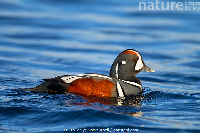 Harlequin duck (Histrionicus histrionicus) portrait of male on river. Iceland, May  ,  BIRDS,DUCKS,ICELAND,MALES,PORTRAITS,RIVERS,VERTEBRATES,WATER,WATERFOWL,Europe,Wildfowl  ,  Steve Knell