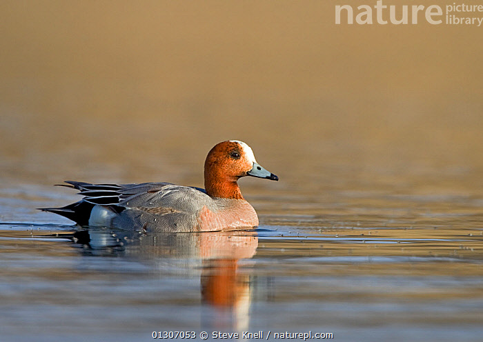 European Wigeon (Anas penelope) drake swimming on water, with reflections. Iceland, May  ,  BIRDS,DUCKS,ICELAND,MALES,REFLECTIONS,SWIMMING,VERTEBRATES,WATER,WATERFOWL,Europe  ,  Steve Knell