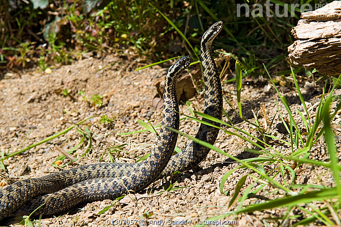 Two male Adders (Vipera berus) fighting / dancing during mating season, Captive, UK  ,  BEHAVIOUR,competition,DISPLAY,FIGHTING,MALES,MATING BEHAVIOUR,REPTILES,Snake,SNAKES,UK,VERTEBRATES,VIPERS,Communication,Aggression,Europe,United Kingdom,Adders  ,  Andy Sands