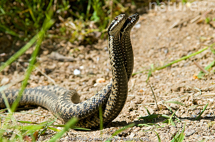 Two male Adders (Vipera berus) fighting / dancing during mating season, Captive, UK  ,  BEHAVIOUR,competition,DISPLAY,FIGHTING,MALES,MATING BEHAVIOUR,REPTILES,Snake,SNAKES,VERTEBRATES,VIPERS,Communication,Aggression,Europe,United Kingdom,Adders  ,  Andy Sands