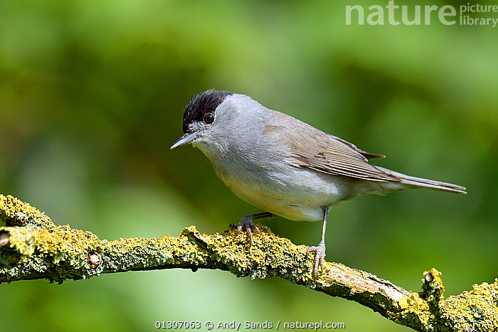 Blackcap (Sylvia atricapilla) male perched on twig, Hertfordshire, England, UK, May  ,  BIRDS,ENGLAND,MALES,PORTRAITS,songbirds,UK,VERTEBRATES,WARBLERS,Europe,United Kingdom  ,  Andy Sands