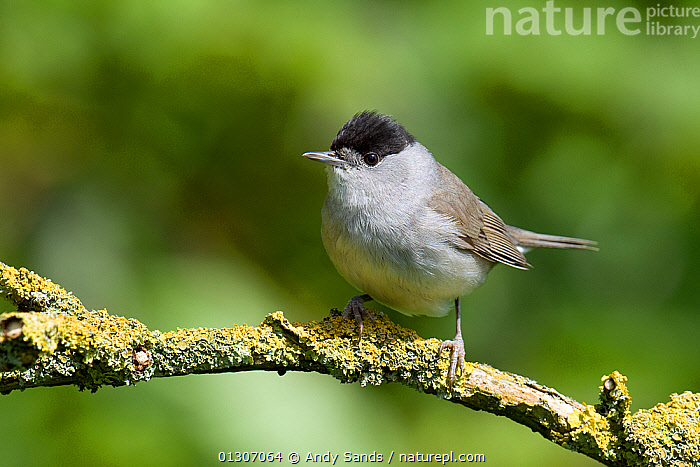 Blackcap (Sylvia atricapilla) male perched on Lichen covered twig, Hertfordshire, England, UK, May  ,  BIRDS,ENGLAND,LICHEN,MALES,PORTRAITS,songbirds,UK,VERTEBRATES,WARBLERS,Europe,United Kingdom  ,  Andy Sands