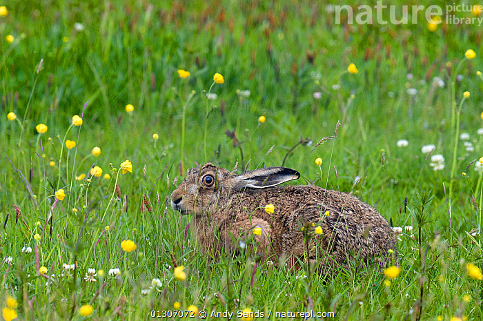 Brown Hare (Lepus europaeus) sitting in meadow of Buttercups and Clover on Machair, Isle of Coll, Scotland, UK, June  ,  BROWN HARE,fields,HARES,lagomorphs,MAMMALS,MEADOWLAND,SCOTLAND,SITTING,UK,VERTEBRATES,Grassland,Europe,United Kingdom , Inner Hebrides  ,  Andy Sands
